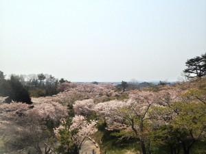 桜 宮城 (4)